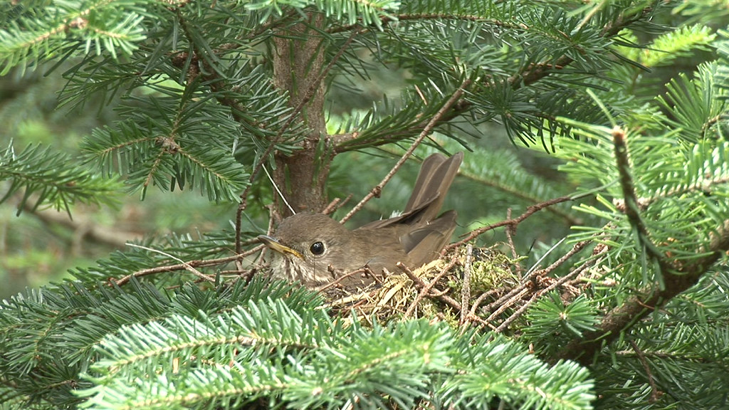 Bicknell's Thrush brooding young