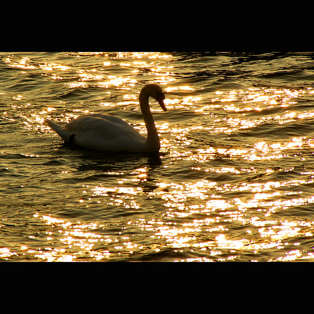 Swan over golden water