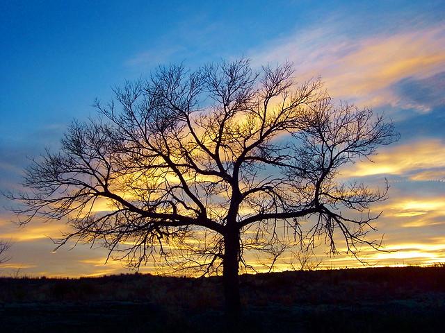 KARVAL TREE