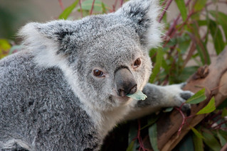 Koala | by San Diego Shooter