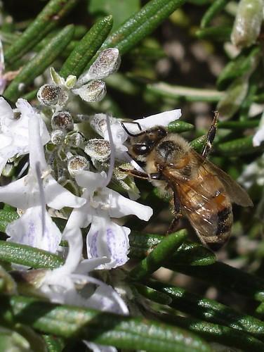 Bee on rosemary blossom