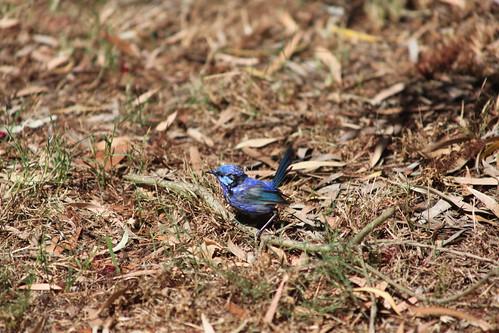 Splendid blue wren   by A. v. Z.