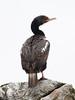 Stewart Island Shag (Bronze Shag) by Jim Scarff