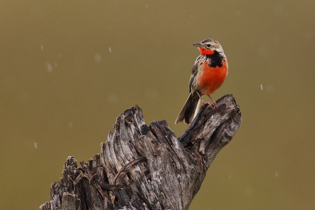 Image: Rosy-Breasted Longclaw in the Rain