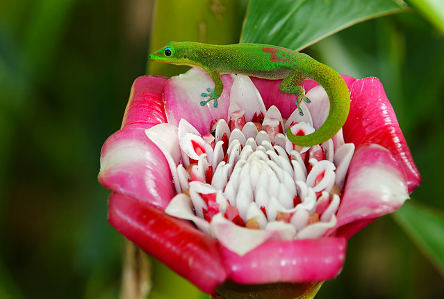 Gold Dust Day Gecko On Torch Ginger - AKA Maylay Rose