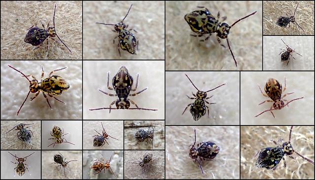 Ptenothrix maculosa principal form Collage