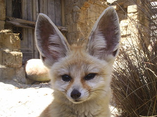 Fennec Fox Ears | by Caninest