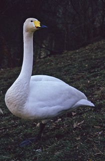 Whooper Swan | by P. Stubbs photo