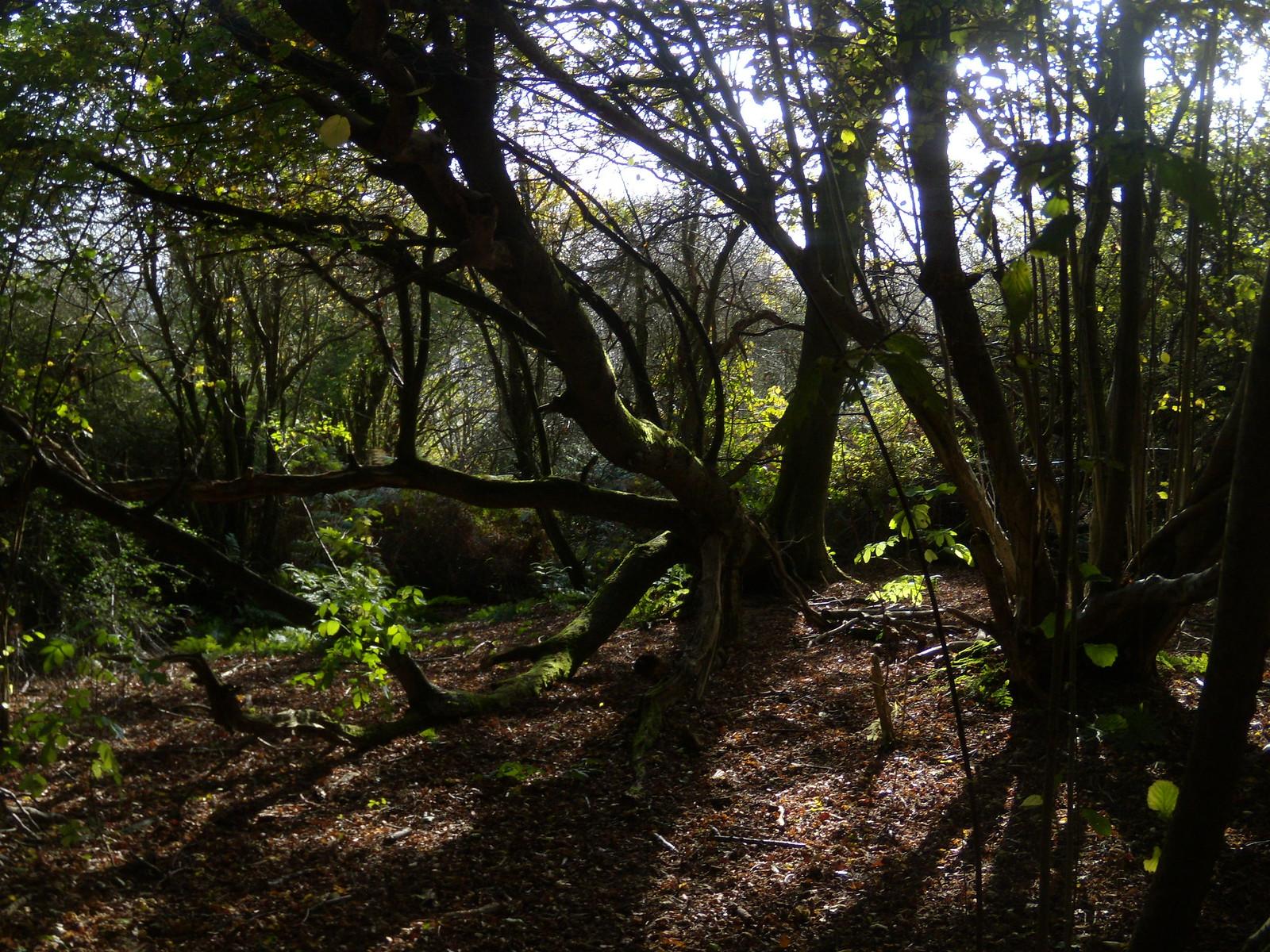 Fallen tree Sevenoaks Circular