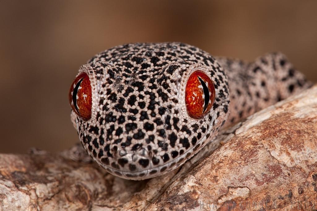 Strophurus taenicauda - Golden-tailed gecko