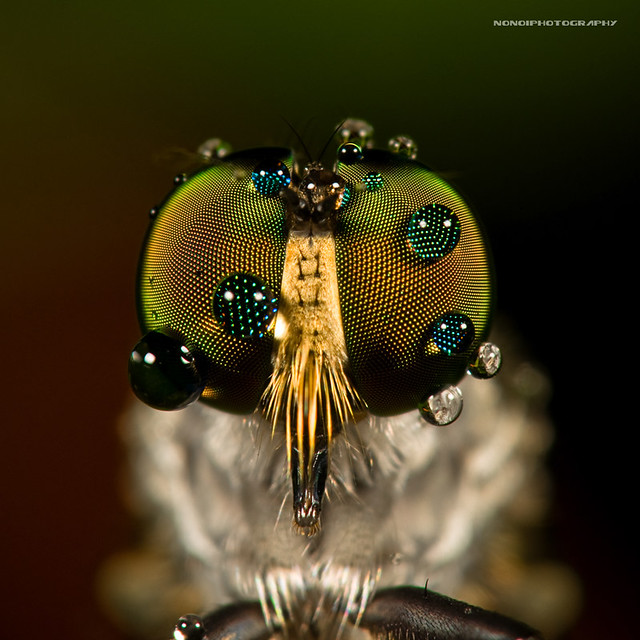 teary eyes of a robberfly