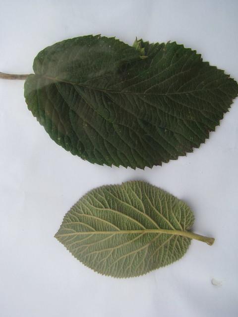 Viburnum lantana_5786