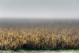 Old corn fog | by ongopt50