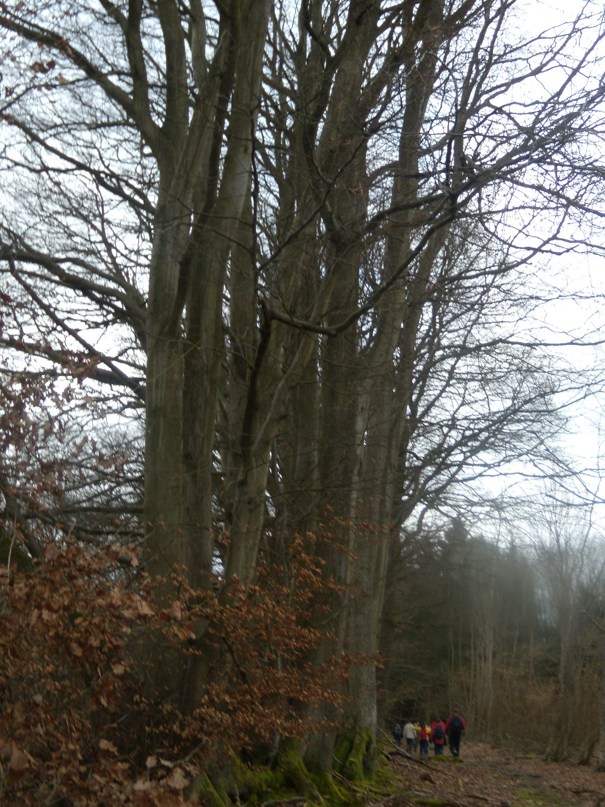 Big trees Witley to Haslemere