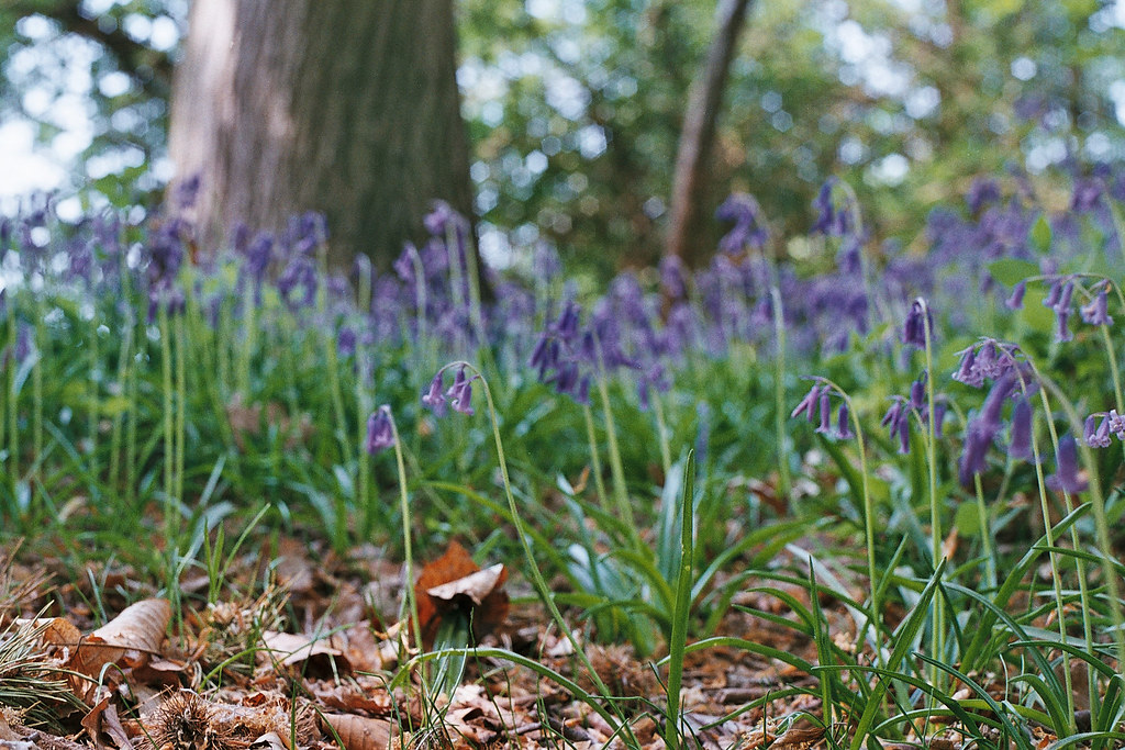 Bluebells at Bacton Woods