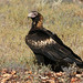 Wedge-tailed Eagle - Photo (c) David Cook, some rights reserved (CC BY-NC)