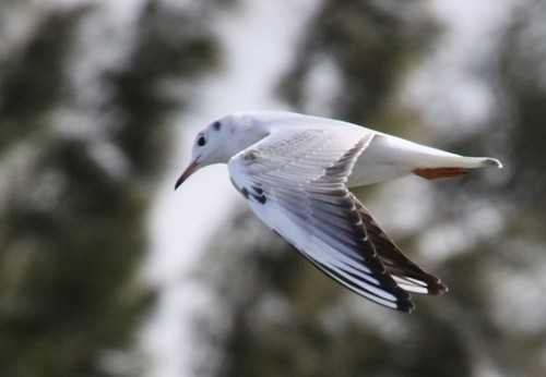 Black-Headed Gull in flight | by blueeyes_inoki
