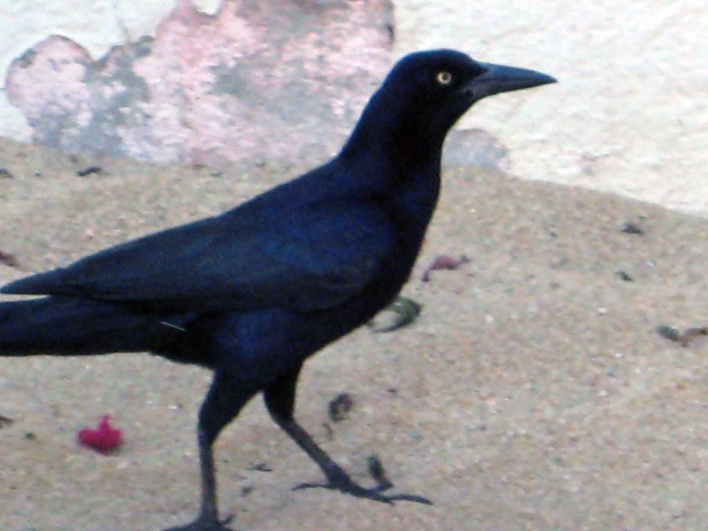 Mexican Crow Funny Crow Like Birds At The Beach Pamela Barclay