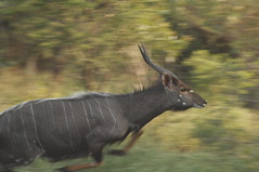 Fleeing Nyala