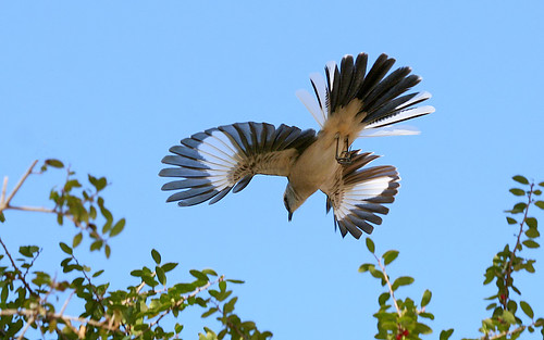 Mockingbird Aerial Display | by TexasEagle