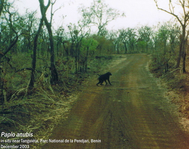 Papio anubis - in situ near Tanguiéta, Parc National de la Pendjari, Benin Dec, 2003 Leo