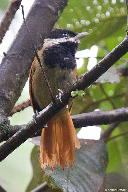 Biatas nigropectus - White-bearded Antshrike