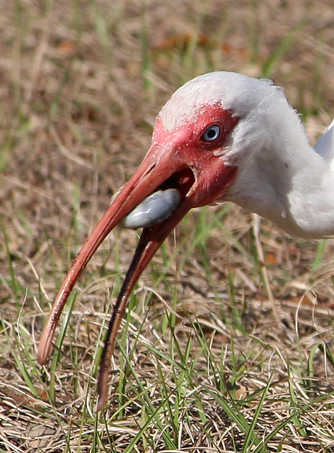 White Ibis Grubbing Down On A Grub Worm I Am Not Trying T Flickr