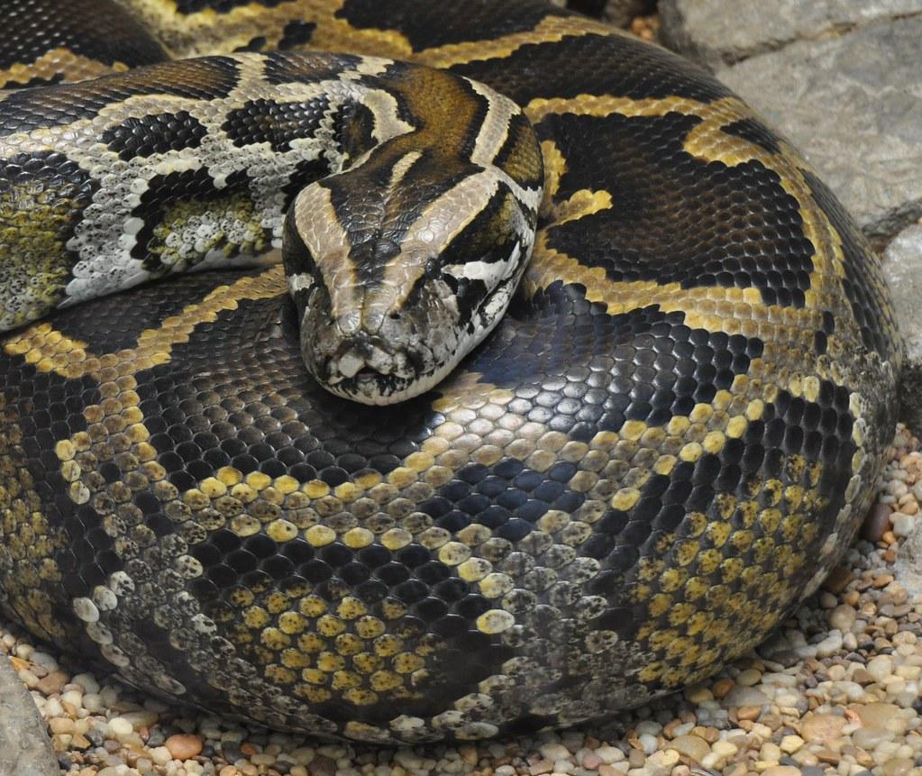Burmese Python | Ted | Flickr
