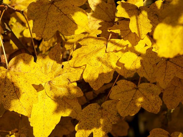 Golde Acer Leaves