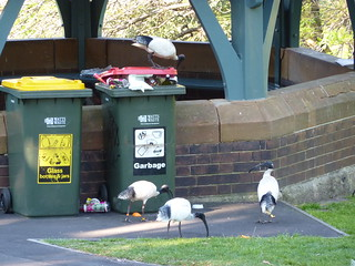 Australian white ibis (Threskiornis molucca) going through the trash | by Thom31