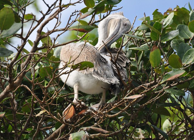 Pelecanus occidentalis - Brown Pelican - Pélican brun (Imm) -  Fev 09