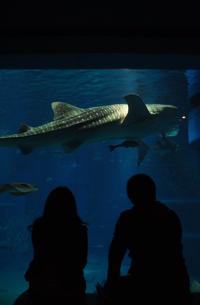 Whale shark in Osaka's aquarium   Osaka, Japan   Mateusz ...