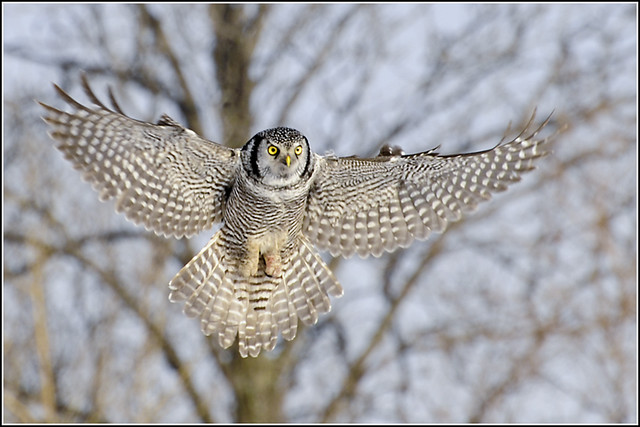 Owl (Northern Hawk) - 0113