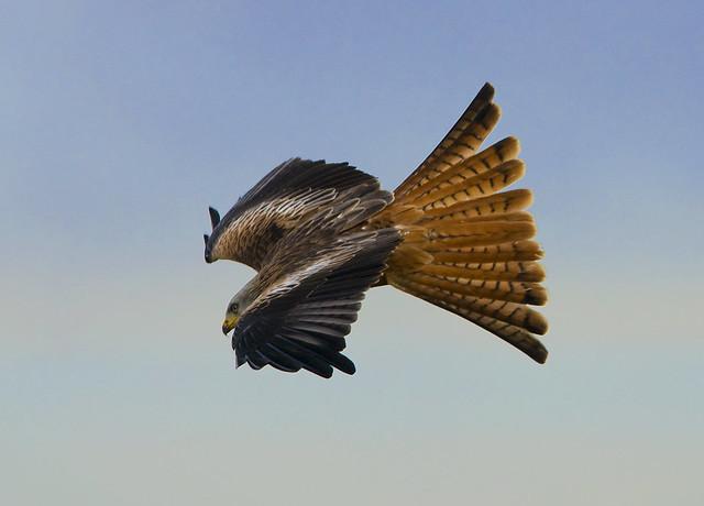 Red Kite (Milvus milvus) in Flight, Llanddeusant, Llangadog, South Wales