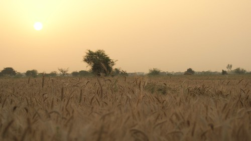 nature sunrise wheat grain fields peasant ripe
