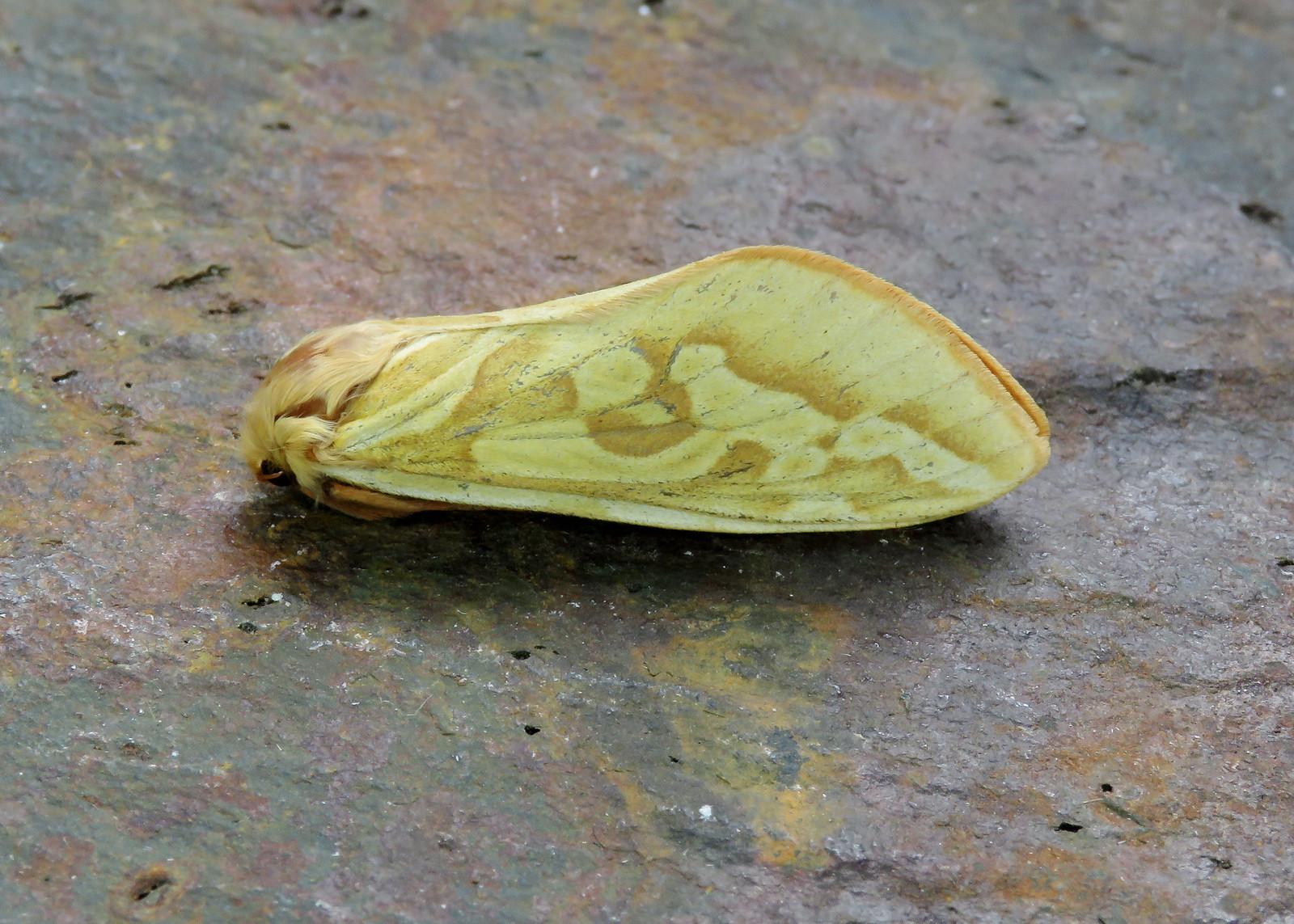 3.005 Ghost Moth - Hepialus humuli