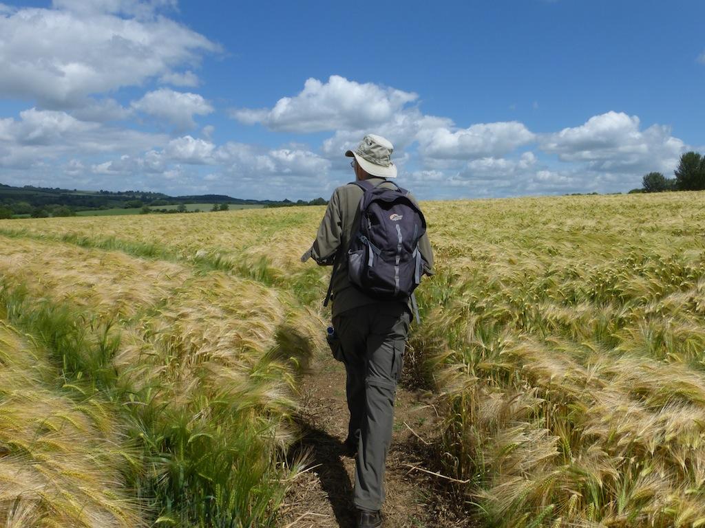 Crossing a barley field Moreton-in-Marsh Circular
