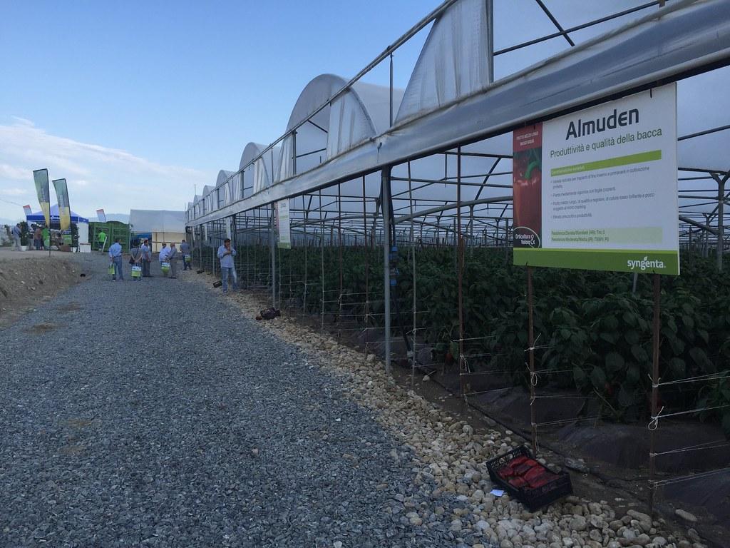 Orticoltura e Valore - prove in campo Peperone 2015 - 2098