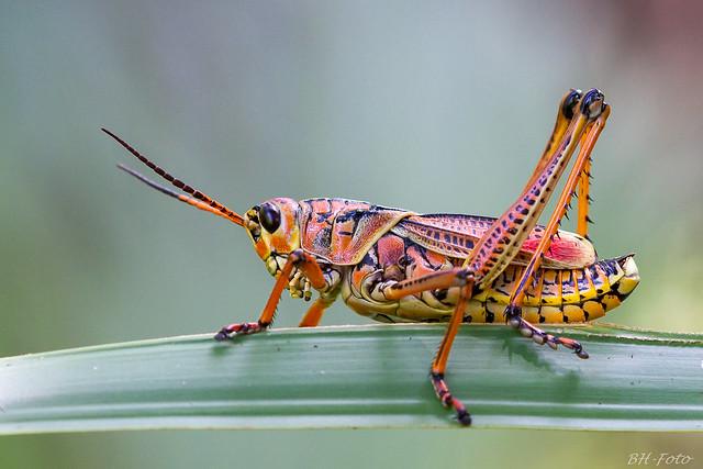 Romalea microptera (Eastern Lubber Grasshopper)