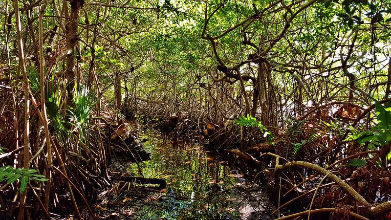 Loxahatchee Mangrove Swamp 2017