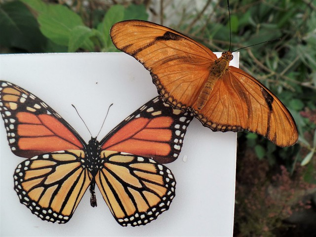 Live Julia butterfly (dyras iulia) on painted Monarch.  San Francisco Conservatory of Flowers, Jan. 2017