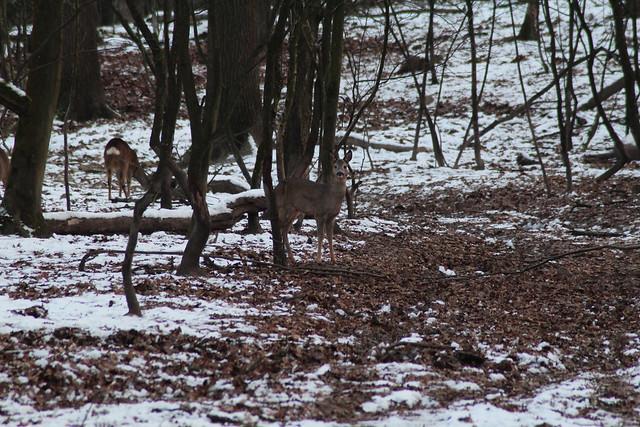 roedeer in winter afternoon