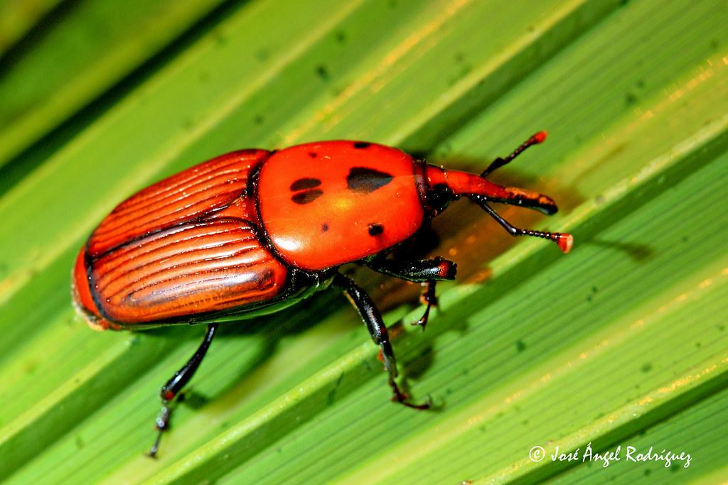 El Asesino De Las Palmeras Picudo Rojo Rhynchophorus Fer Flickr