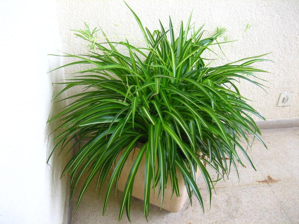 Cintas (planta)   Guadalupe Cervilla   Flickr