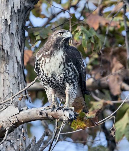 Juvenile Red-tailed Hawk at Whittier Narrows Natural Area | by naturalareafan