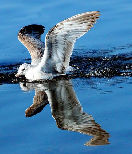 water birds reflections wings pond seagull flight bubbles reflectionlovers naturesgreenpeace