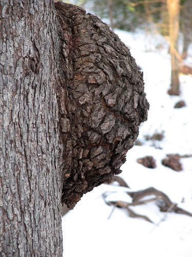 Tree Knob Snow on Pirates Cove Greenway Cary NC 4224 | by bobistraveling