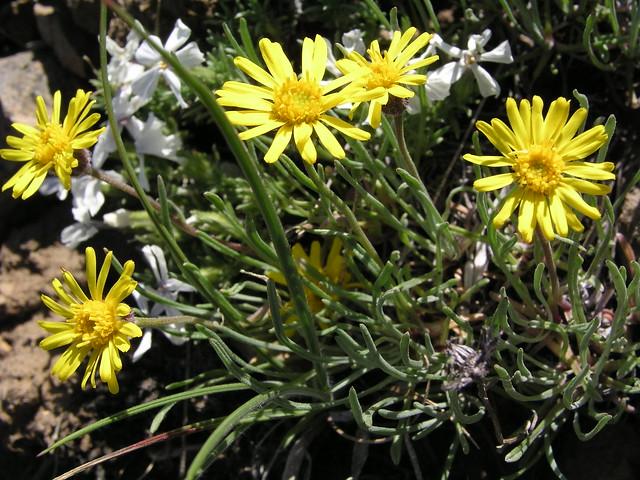 Linear-leaf Daisy