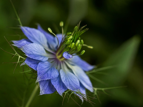 blue flora ngc npc loveinthemist doublefantasy nigelladamascena fleursetpaysages zenithaward floralfantasy12
