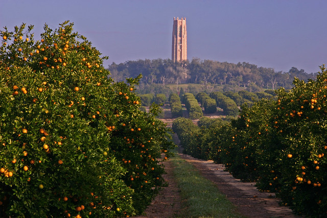 Singing Tower Surrounded by Orange Groves